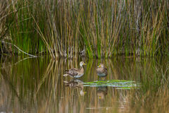 Yellow Billed Pintail Stock Images