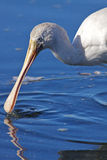 Yellow-billed Spoonbill Royalty Free Stock Image