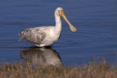 Yellow-billed Spoonbill Stock Photography