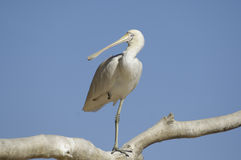 Yellow billed spoonbill Stock Photography