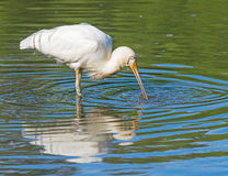 Yellow-Billed Spoonbill Royalty Free Stock Images