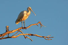 Yellow-Billed Spoonbill Stock Images