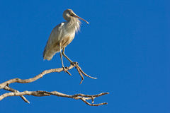 Yellow-Billed Spoonbill Royalty Free Stock Photo