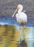 Yellow-Billed Spoonbill Royalty Free Stock Photography
