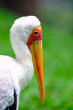 Yellow billed Stork 1 Royalty Free Stock Photography