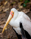 Yellow-billed stork. Standing on the ground Royalty Free Stock Photo