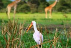 Yellow billed stork Royalty Free Stock Photo