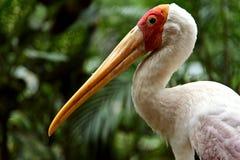 Yellow billed stork. In the Kuala Lumpur Bird Park Stock Image