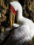 Yellow Billed Stork Royalty Free Stock Photography
