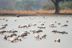 Free Yellow-billed Stork Stock Images - 18388424