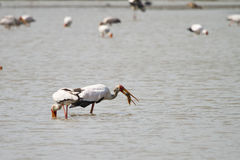 Yellow-billed Stork Royalty Free Stock Photography