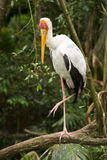 Yellow-billed Stork. Safari South Luangwa, Zambia Stock Images