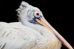 Yellow-billed stork Stock Images