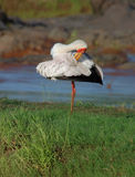 Yellow Billed Stork Royalty Free Stock Image
