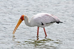Yellow Billed Stork Royalty Free Stock Photo