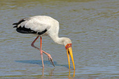 Yellow-billed Stork Stock Photo