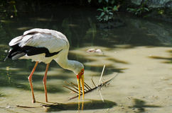 Yellow-billed Stork. Wading in a river Royalty Free Stock Photography