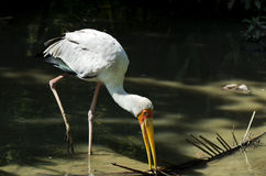 Yellow-billed Stork. Catching fish Royalty Free Stock Photos