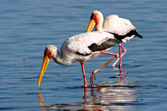 Yellow Billed Stork Stock Images