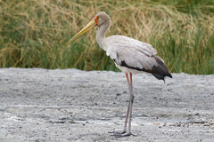 Free Yellow-billed Stork Royalty Free Stock Photography - 28958057