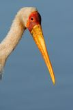 Yellow-billed stork Royalty Free Stock Photos