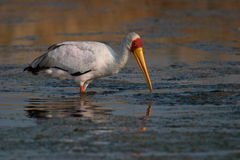 Yellow-billed Stork. Wading in shallow water Royalty Free Stock Photo