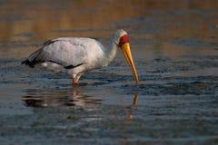 Yellow-billed Stork Royalty Free Stock Photo
