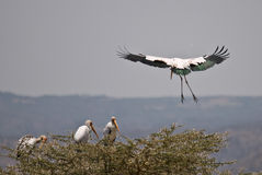 Yellow Billed Stork About To Land, Lake Manyara Royalty Free Stock Photo