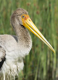 Yellow billed stork Royalty Free Stock Images