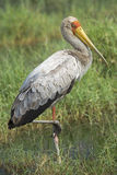 Yellow billed stork Stock Photo