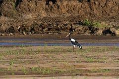 Yellow-billed stork Stock Photos