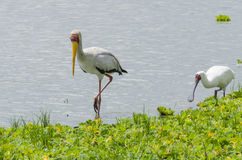 Yellow-billed Stork and African Spoonbill Royalty Free Stock Photo