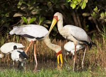 Yellow-billed Stork, Afrikaanse Nimmerzat, Mycteria ibis stock photos