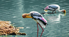 Yellow billed stork Royalty Free Stock Photos