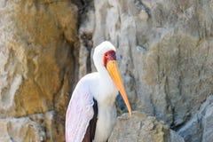 Yellow Billed Stork Bird Royalty Free Stock Photo