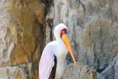 Yellow Billed Stork Bird Stock Photo