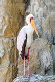Yellow Billed Stork Bird Stock Images