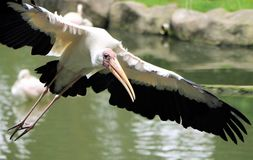 Yellow billed Stork bird flying near water Stock Image