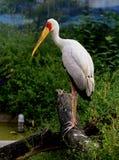 Yellow-billed Stork Royalty Free Stock Image