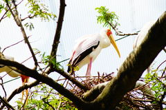 Yellow-billed Stork. Yellow billed stork on the branch of tree Royalty Free Stock Photo