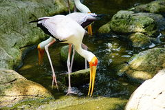 Yellow-billed Stork. Cattle Egret has drinking water Stock Photography