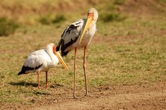 Yellow-billed stork Stock Image