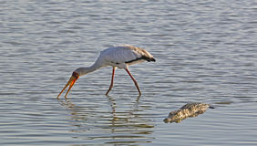 Yellow-billed Stork and Crocodile, Selous Game Reserve, Tanzania Royalty Free Stock Photos