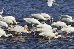 Yellow billed stork  feeding Lake Nukuru Stock Photos