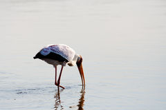 Yellow billed stork feeding while walking in shallow water Stock Photos