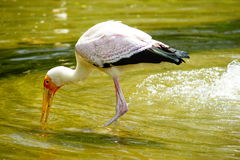 Yellow-billed Stork. Finding his meals in the water Stock Image