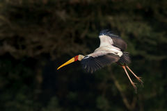 Yellow billed stork in flight. Stock Photo