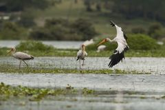 Yellow-billed Stork Flying Stock Photography
