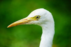 Yellow-billed Stork. Head of Yellow billed stork  on blurred and bokeh green background Royalty Free Stock Images