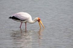 Yellow billed stork hunt fish in shallow water of a dam Stock Image